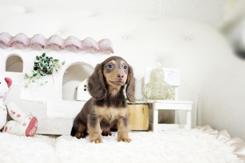 カニンヘンダックスフンド(ロング)の子犬(ID:1255411538)の3枚目の写真/更新日:2021-05-05