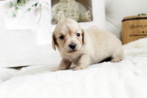 カニンヘンダックスフンド(ロング)の子犬(ID:1255411539)の2枚目の写真/更新日:2018-06-28