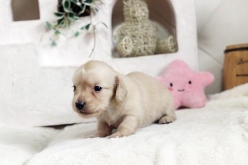 カニンヘンダックスフンド(ワイアー)の子犬(ID:1255411539)の3枚目の写真/更新日:2017-01-26