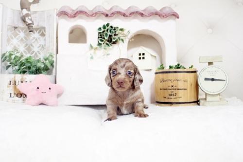 カニンヘンダックスフンド(ロング)の子犬(ID:1255411540)の1枚目の写真/更新日:2021-05-13