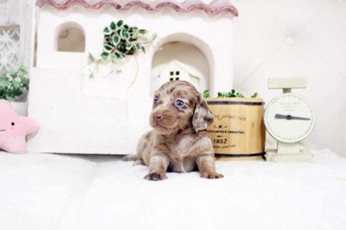 カニンヘンダックスフンド(ロング)の子犬(ID:1255411540)の2枚目の写真/更新日:2017-02-06