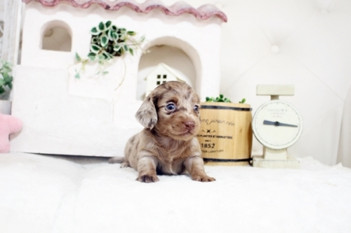 カニンヘンダックスフンド(ロング)の子犬(ID:1255411540)の3枚目の写真/更新日:2017-02-06