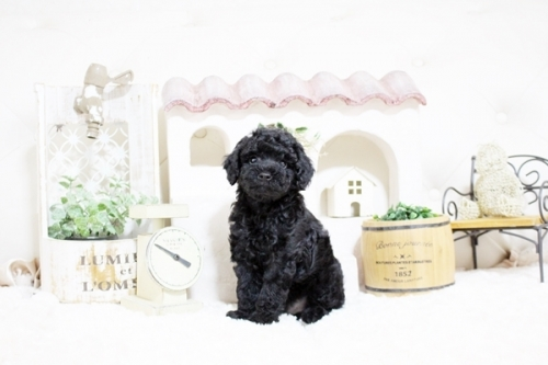 トイプードルの子犬(ID:1255411541)の1枚目の写真/更新日:2018-06-05