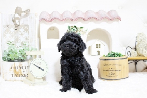 トイプードルの子犬(ID:1255411541)の2枚目の写真/更新日:2017-02-06