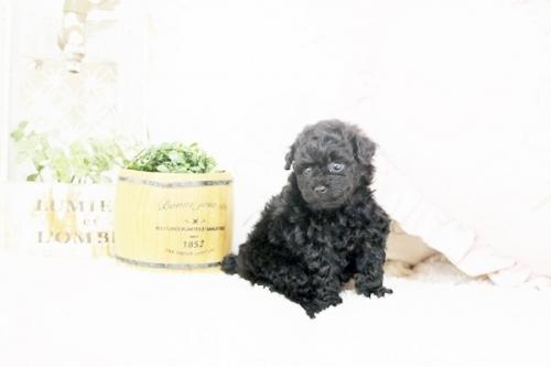トイプードルの子犬(ID:1255411541)の4枚目の写真/更新日:2017-02-06