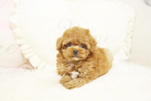 トイプードルの子犬(ID:1255411542)の1枚目の写真/更新日:2017-02-06