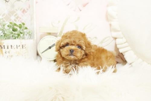 トイプードルの子犬(ID:1255411542)の3枚目の写真/更新日:2017-02-06