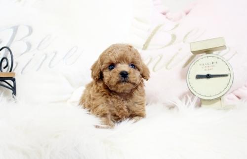 トイプードルの子犬(ID:1255411543)の1枚目の写真/更新日:2017-02-06