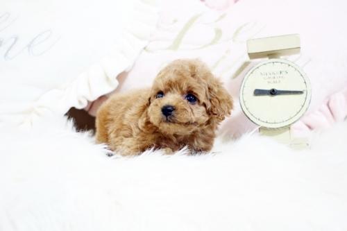 トイプードルの子犬(ID:1255411543)の2枚目の写真/更新日:2019-02-26