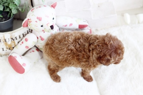トイプードルの子犬(ID:1255411543)の3枚目の写真/更新日:2019-02-26