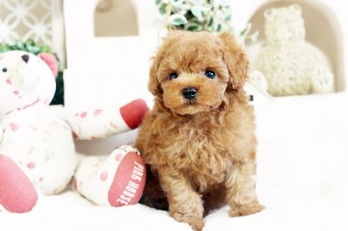 トイプードルの子犬(ID:1255411544)の1枚目の写真/更新日:2017-02-06