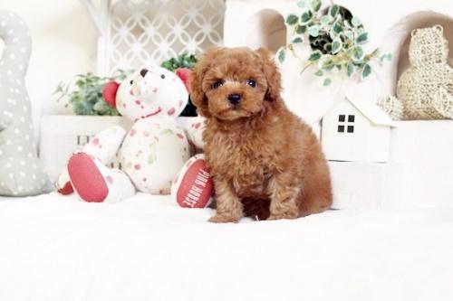 トイプードルの子犬(ID:1255411544)の2枚目の写真/更新日:2017-02-06