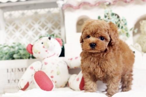 トイプードルの子犬(ID:1255411544)の4枚目の写真/更新日:2017-02-06