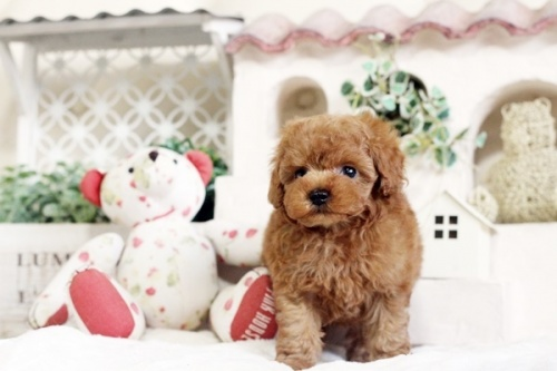 トイプードルの子犬(ID:1255411544)の5枚目の写真/更新日:2017-02-06