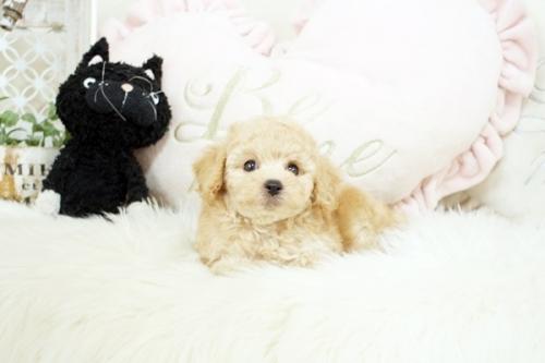 トイプードルの子犬(ID:1255411545)の1枚目の写真/更新日:2018-06-05