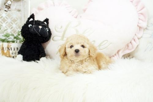 トイプードルの子犬(ID:1255411545)の2枚目の写真/更新日:2018-06-05