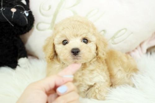 トイプードルの子犬(ID:1255411545)の4枚目の写真/更新日:2017-02-06
