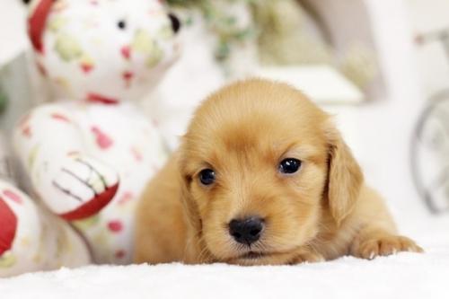 トイプードルの子犬(ID:1255411546)の1枚目の写真/更新日:2018-06-05