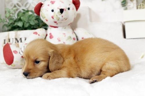 カニンヘンダックスフンド(ロング)の子犬(ID:1255411546)の2枚目の写真/更新日:2018-07-24