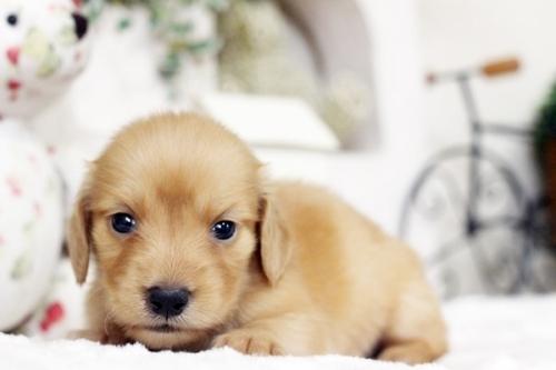 カニンヘンダックスフンド(ロング)の子犬(ID:1255411546)の3枚目の写真/更新日:2018-07-24