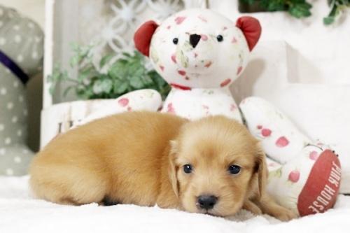 カニンヘンダックスフンド(ロング)の子犬(ID:1255411546)の4枚目の写真/更新日:2018-07-24