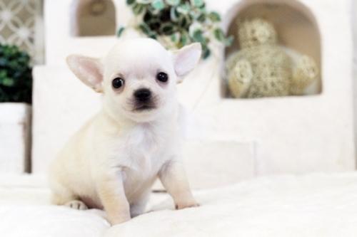 チワワ(スムース)の子犬(ID:1255411547)の1枚目の写真/更新日:2017-02-10