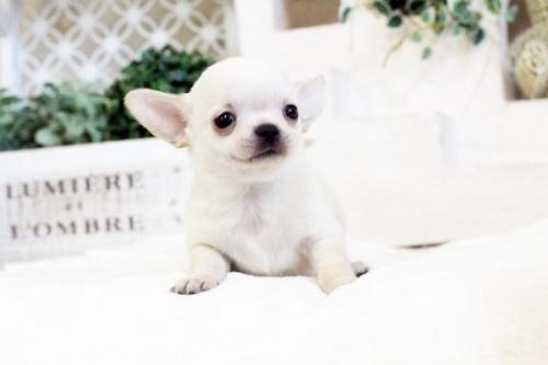 チワワ(スムース)の子犬(ID:1255411547)の2枚目の写真/更新日:2017-02-10
