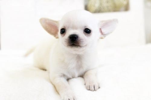 チワワ(スムース)の子犬(ID:1255411547)の3枚目の写真/更新日:2017-02-10