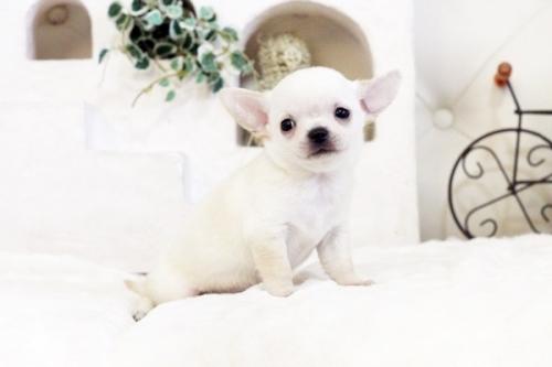 チワワ(スムース)の子犬(ID:1255411547)の4枚目の写真/更新日:2017-02-10