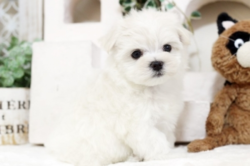 マルチーズの子犬(ID:1255411548)の1枚目の写真/更新日:2017-02-10