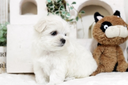 マルチーズの子犬(ID:1255411548)の2枚目の写真/更新日:2017-02-10