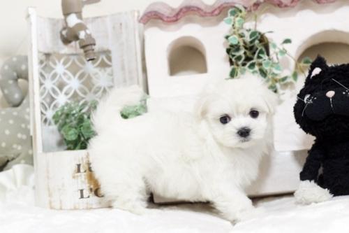 マルチーズの子犬(ID:1255411549)の1枚目の写真/更新日:2017-02-10