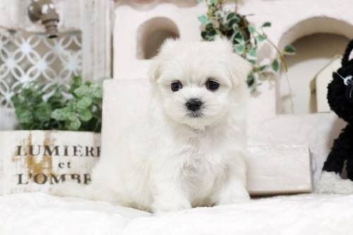 マルチーズの子犬(ID:1255411549)の2枚目の写真/更新日:2017-02-10