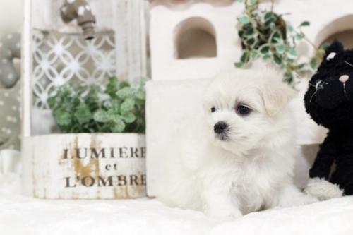 マルチーズの子犬(ID:1255411549)の3枚目の写真/更新日:2017-02-10