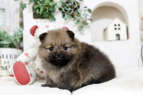 ポメラニアンの子犬(ID:1255411550)の1枚目の写真/更新日:2018-12-03
