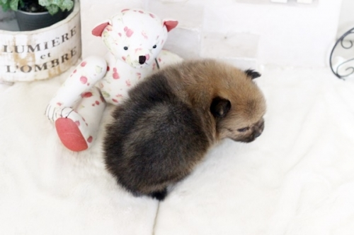 ポメラニアンの子犬(ID:1255411550)の2枚目の写真/更新日:2017-02-10
