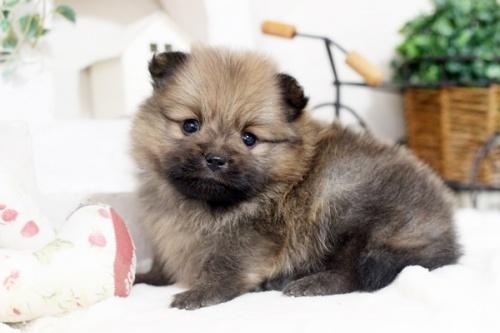 ポメラニアンの子犬(ID:1255411550)の3枚目の写真/更新日:2017-02-10