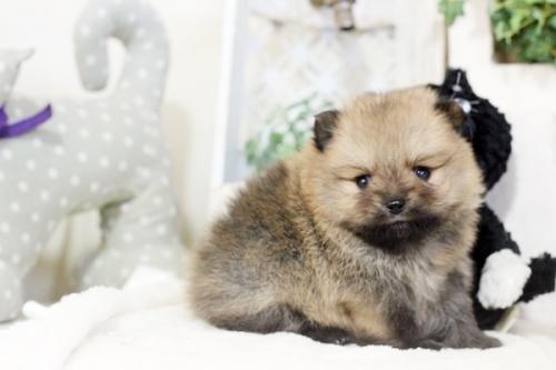 ポメラニアンの子犬(ID:1255411551)の1枚目の写真/更新日:2018-12-03