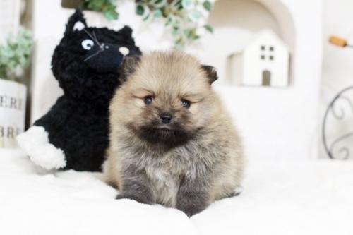 ポメラニアンの子犬(ID:1255411551)の2枚目の写真/更新日:2018-12-03