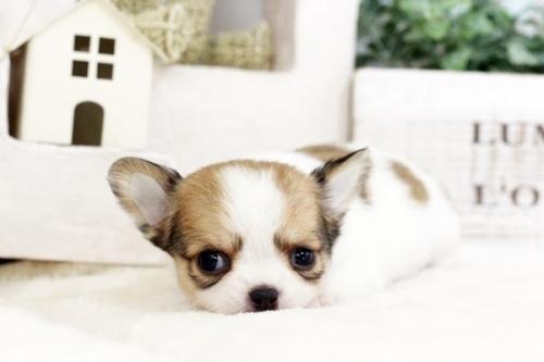 チワワ(ロング)の子犬(ID:1255411552)の3枚目の写真/更新日:2017-02-15