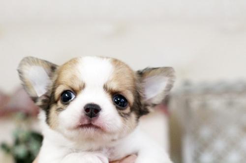 チワワ(ロング)の子犬(ID:1255411552)の4枚目の写真/更新日:2017-02-15
