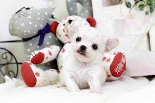 チワワ(ロング)の子犬(ID:1255411553)の1枚目の写真/更新日:2017-02-15