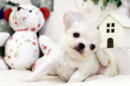 チワワ(ロング)の子犬(ID:1255411553)の2枚目の写真/更新日:2017-02-15