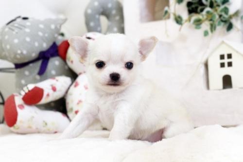 チワワ(ロング)の子犬(ID:1255411553)の4枚目の写真/更新日:2017-02-15