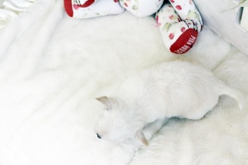 チワワ(ロング)の子犬(ID:1255411553)の5枚目の写真/更新日:2017-02-15