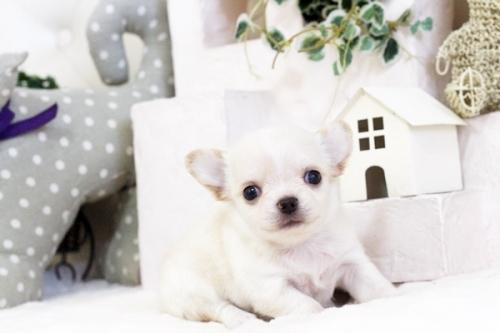 チワワ(ロング)の子犬(ID:1255411554)の1枚目の写真/更新日:2017-02-15