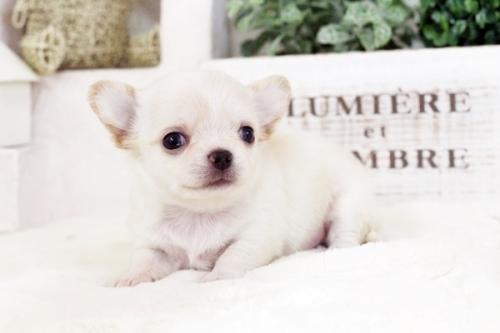 チワワ(ロング)の子犬(ID:1255411554)の2枚目の写真/更新日:2017-02-15