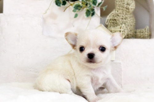 チワワ(ロング)の子犬(ID:1255411554)の3枚目の写真/更新日:2017-02-15