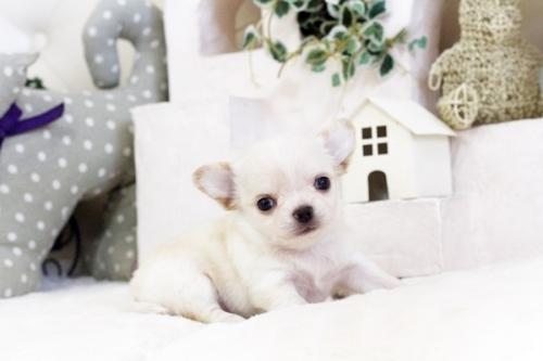 チワワ(ロング)の子犬(ID:1255411554)の4枚目の写真/更新日:2017-02-15