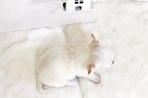 チワワ(ロング)の子犬(ID:1255411554)の5枚目の写真/更新日:2017-02-15